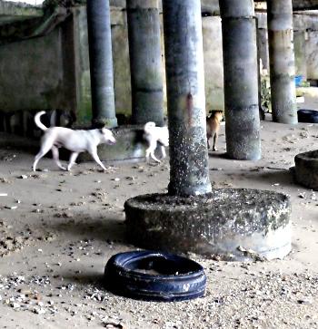 Hunde under Pattayas Walking Street